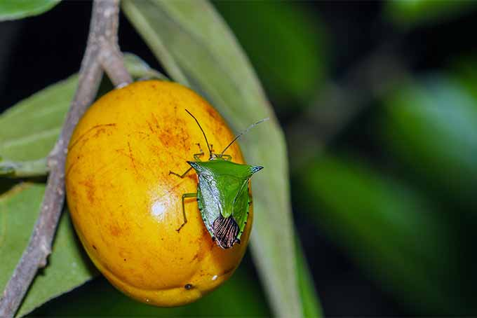 A close up horizontal image of a green stink bug on a yellow fruit pictured on a soft focus background.
