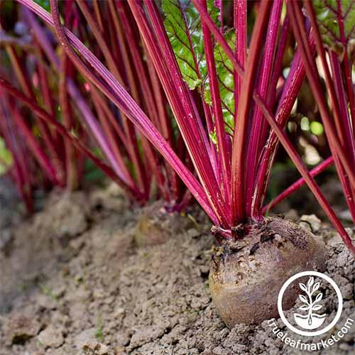 The Best Beet Varieties to Plant This Season Gardeners Path