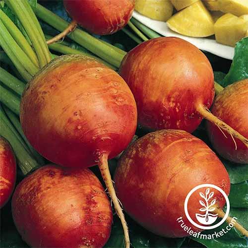 Golden Detroit beets are among the best beet varieties for your backyard garden | GardenersPath.com