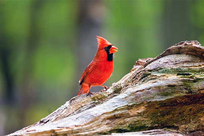 A close up horizontal image of a red bird in the garden perched on a wooden branch, pictured in bright sunshine on a green soft focus background.