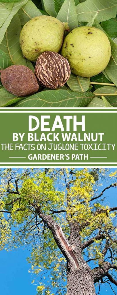 Have you heard of juglone toxicity? This side effect of keeping black walnut trees may be killing your other plants. Learn what fruits and flowers can withstand living near the tree and how to properly treat sensitive plants with our owner's guide on Gardener's Path.