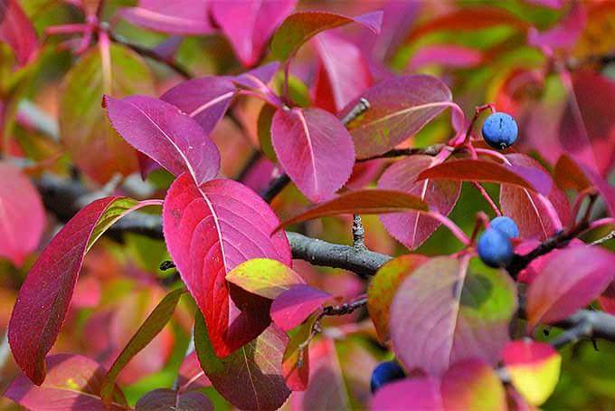 Blackhaw | GardenersPath.com