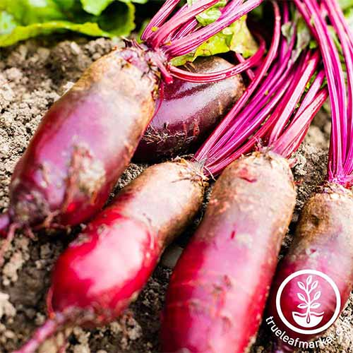 Get help selecting the best beet variety for your family | GardenersPath.com