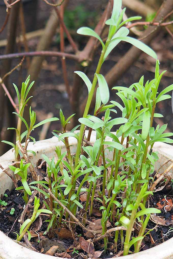 Learn how to grow, propagate, harvest and enjoy tarragon: https://gardenerspath.com/plants/herbs/how-to-grow-tarragon/