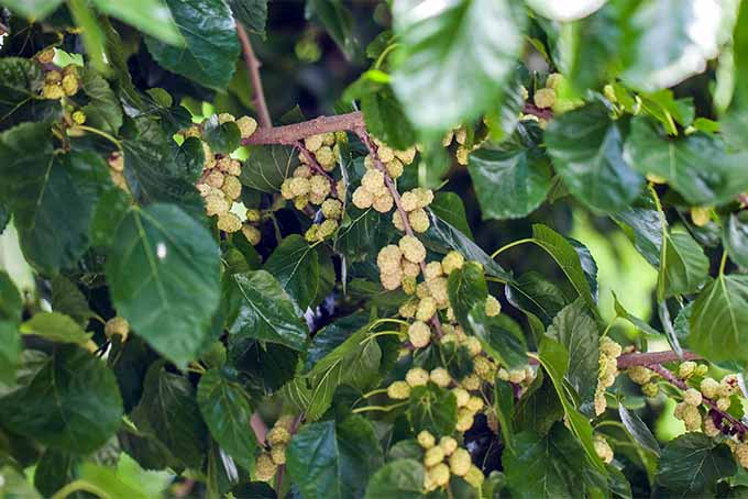 Mulberry trees require very little care and make a terrific addition to many landscapes | GardenersPath.com