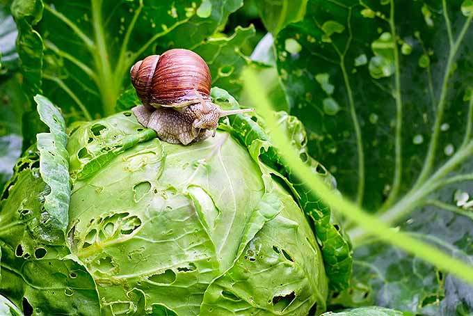 Snails eating more veggies than you are? Try these tips. | GardenersPath.com