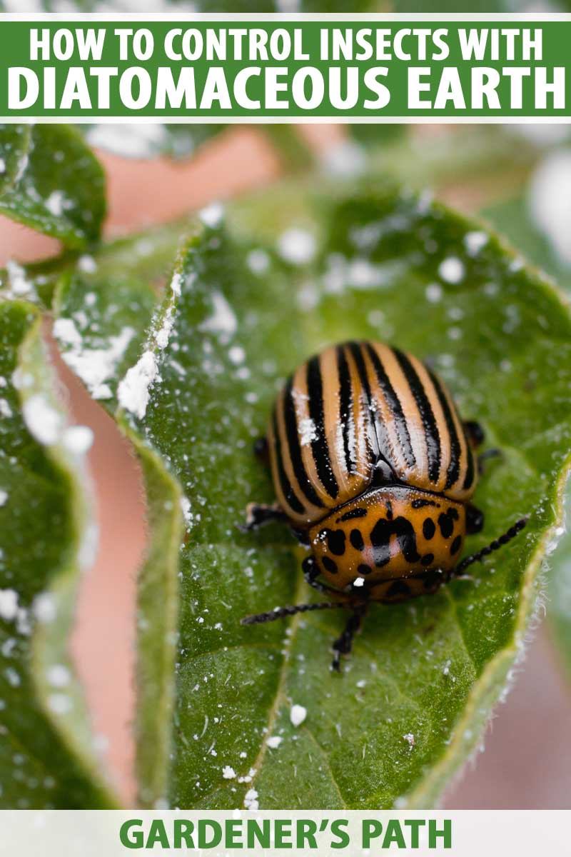 Close up of a Colorado potato beetle covered with diatomaceous earth.