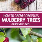 A collage of photos showing different views of mulberries and the tree that fruits them.