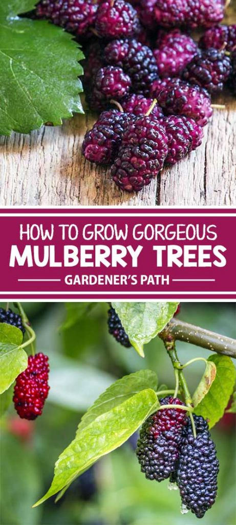How to Grow Gorgeous Mulberry Trees | Gardener's Path