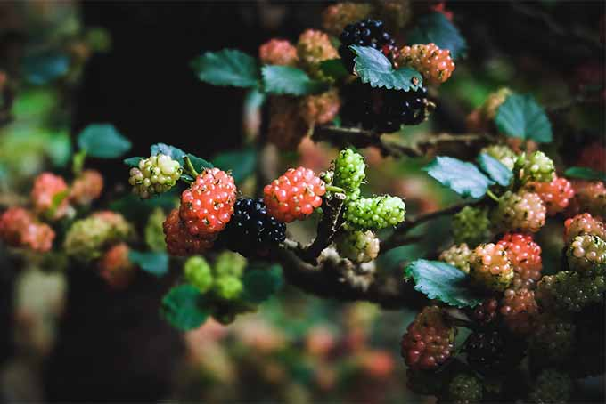 Get information about growing beautiful and productive mulberry trees in your yard | GardenersPath.com