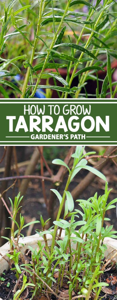 Tarragon is one of the mainstays of the kitchen herb garden, but not all varieties are created equal. Some have a true licorice flavor, while others don't. And some are better suited for cool spring temperatures, while one performs best in hot, dry climates. Get all the information you need right here on Gardener's Path!