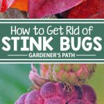 Is your garden bugged by stink bugs? Learn how to banish these malodorous, produce-eating pests from your garden once and for all with tips and hints from the experts at Gardener's Path.
