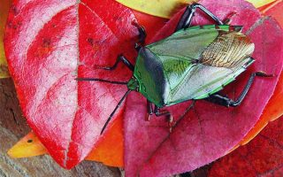 Get tips and tricks for ridding your garden of voracious stink bug invaders | GardenersPath.com