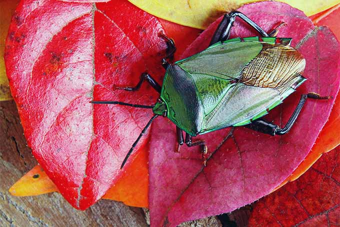 A close up horizontal image of a stink bug with luminous green body, on red leaves, set on a wooden surface.