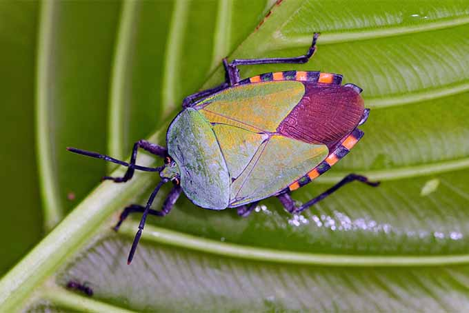 Stink bugs are damaging invaders; learn how to banish them from your garden | GardenersPath.com