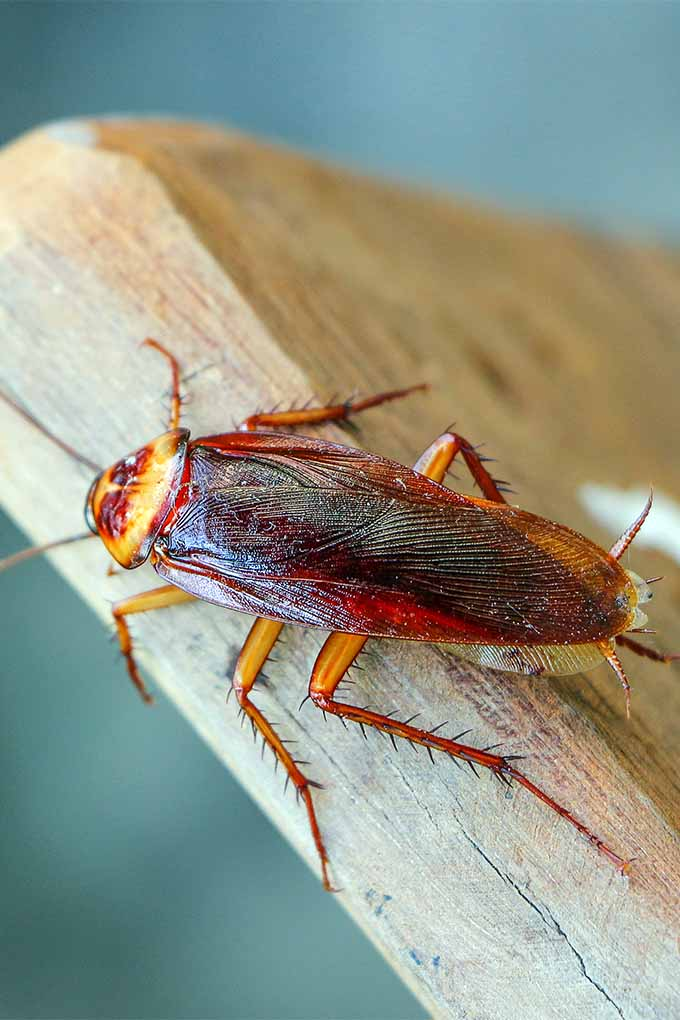 Get tips and tricks for banishing cockroaches from your yard and gardens: https://gardenerspath.com/how-to/disease-and-pests/rid-garden-cockroaches/