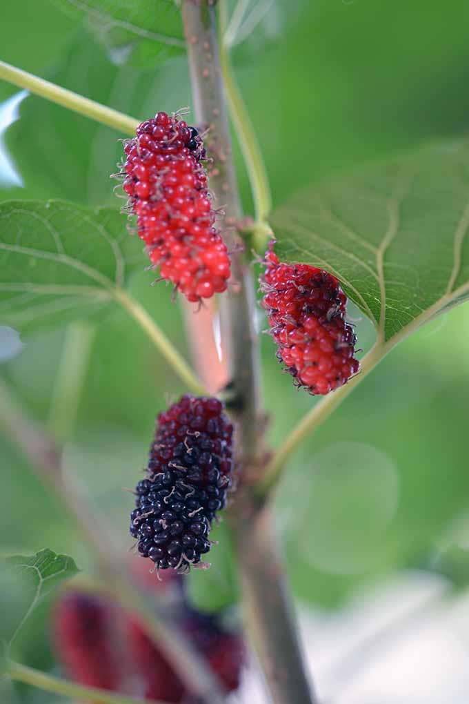 Get expert advice about growing fistfuls of delicious mulberry fruit in your own garden: https://gardenerspath.com/plants/fruit/grow-mulberry/