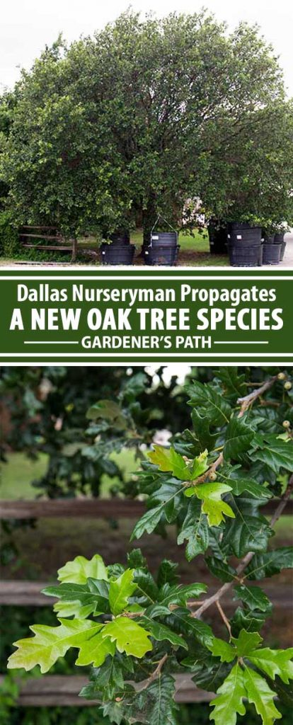 Meet Bob Piaschyk, a smart and determined Texas nurseryman whose sharp eyes identified a beautiful and unusual tree. With luck, its propagation could lead to the financing of his grandkids' educations. Learn about his quest now at Gardener's Path.