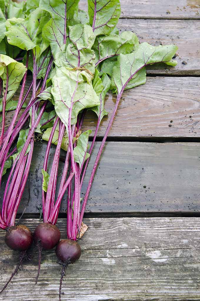 Get information about a wide variety of beets in different colors and shapes that are perfect for your garden: https://gardenerspath.com/plants/vegetables/top-16-beet-varieties-to-plant-this-season