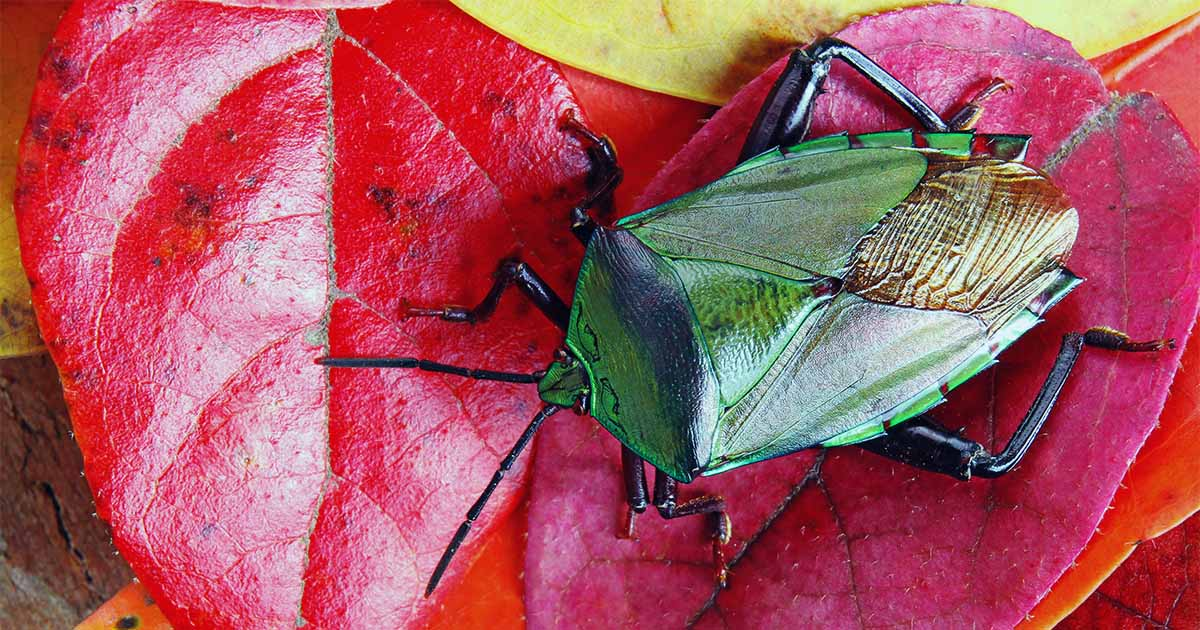 How to Get Rid of Stink Bugs in the Home or Garden