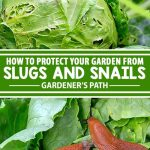Garden slugs and snails are known as gastropods, and an infestation can decimate tender seedlings and mature plants in short order. Join us here for a look at the most effective natural methods to banish the slimy bandits for good!