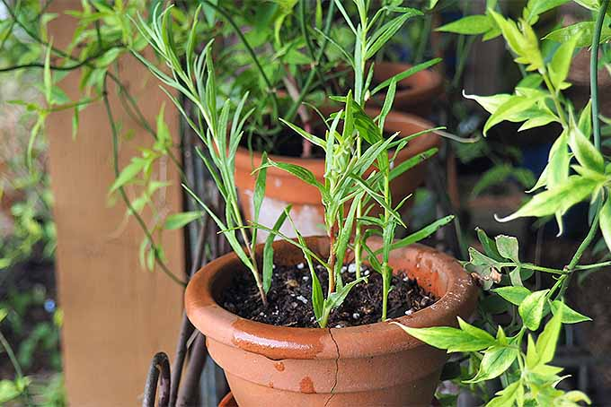 Provide tarragon cuttings with dappled light. | GardenersPath.com
