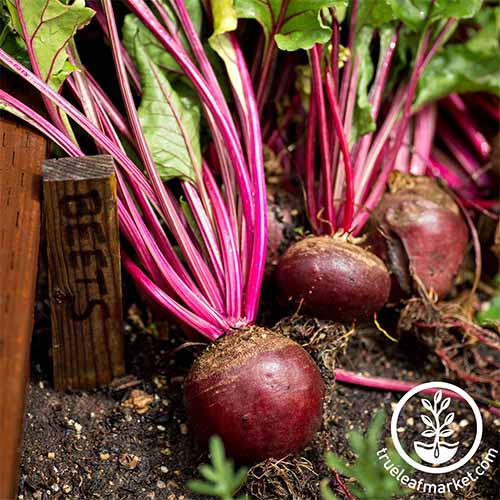 Learn the best beet varieties to grow in your garden | GardenersPath.com