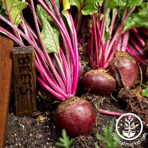 Learn the best beet varieties to grow in your garden | GardenersPath.com