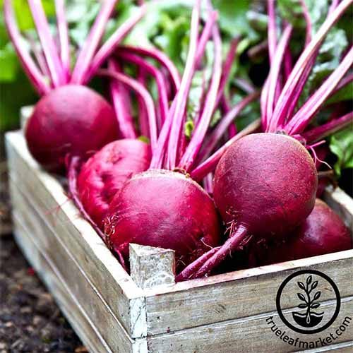 Get information about various best beet varieties, including Ruby Queen | GardenersPath.com