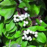 Learn more about which shrubs and trees belong in the local ecosystems of the Midwest, like this gorgeous snowberry. Read more: https://gardenerspath.com/gear/gardening-books/midwestern-native-shrubs-trees/