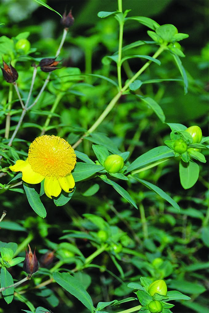 Does St. John's wort fit into the Midwestern landscape> Learn more with the latest book from Charlotte Adelman and Bernard L. Schwartz: https://gardenerspath.com/gear/gardening-books/midwestern-native-shrubs-trees/