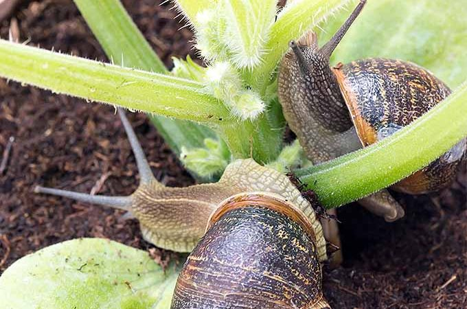 Get rid of snails with beer, salt, and other nontoxic household items.   GardenersPath.com