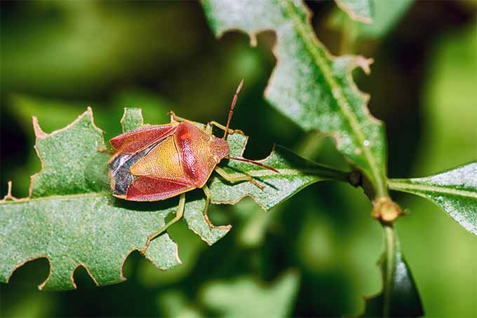 A close up horizontal image of a red and orange stink bug on a leaf in the garden, pictured in bright sunshine on a soft focus green background.