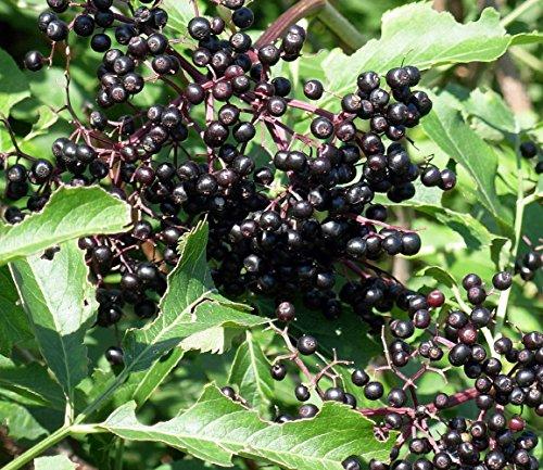 100 Seeds Elderberry Sambucus Fruit Tree Heirloom Rare Kinds Edible Plants Home