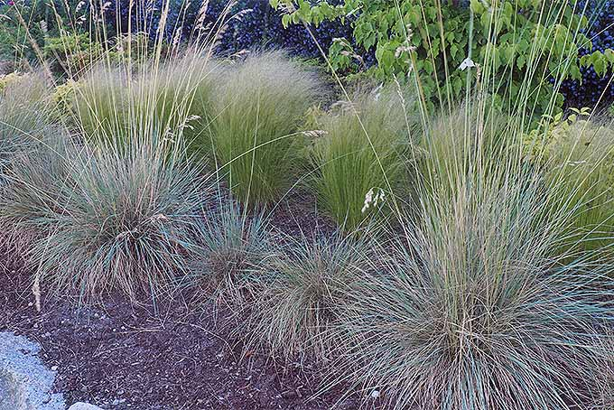 Easy landscaping with ornamental grasses gardener 39 s path for Ornamental oat grass varieties