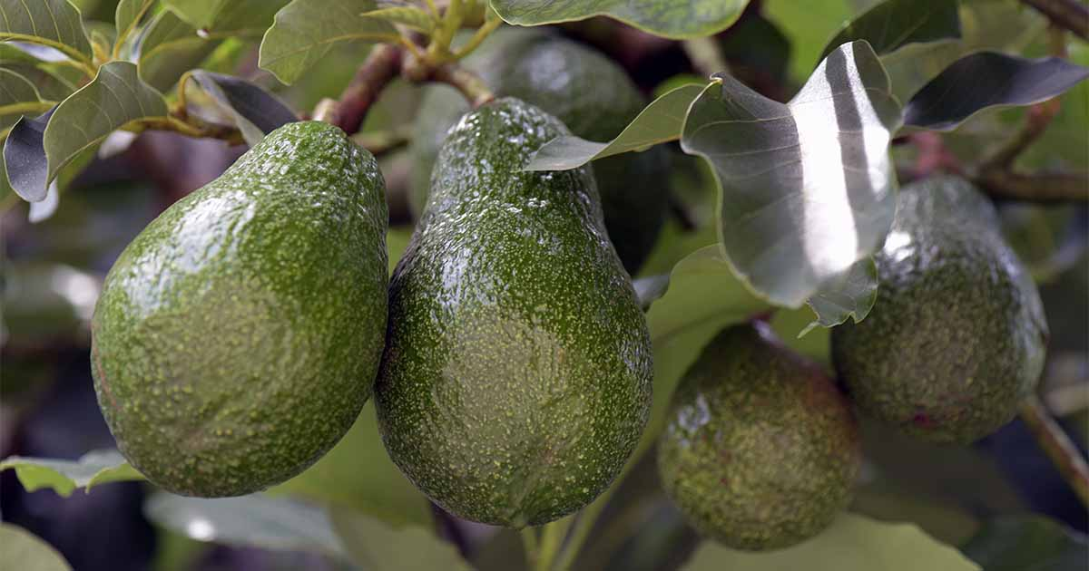 How To Grow Avocados Gardener S Path
