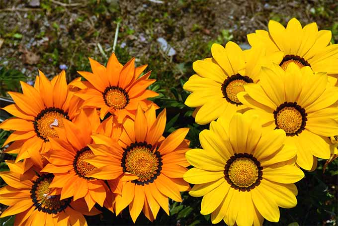 African daisy is a prolific bloomer, with flowers that open in the morning and close at night | GardenersPath.com