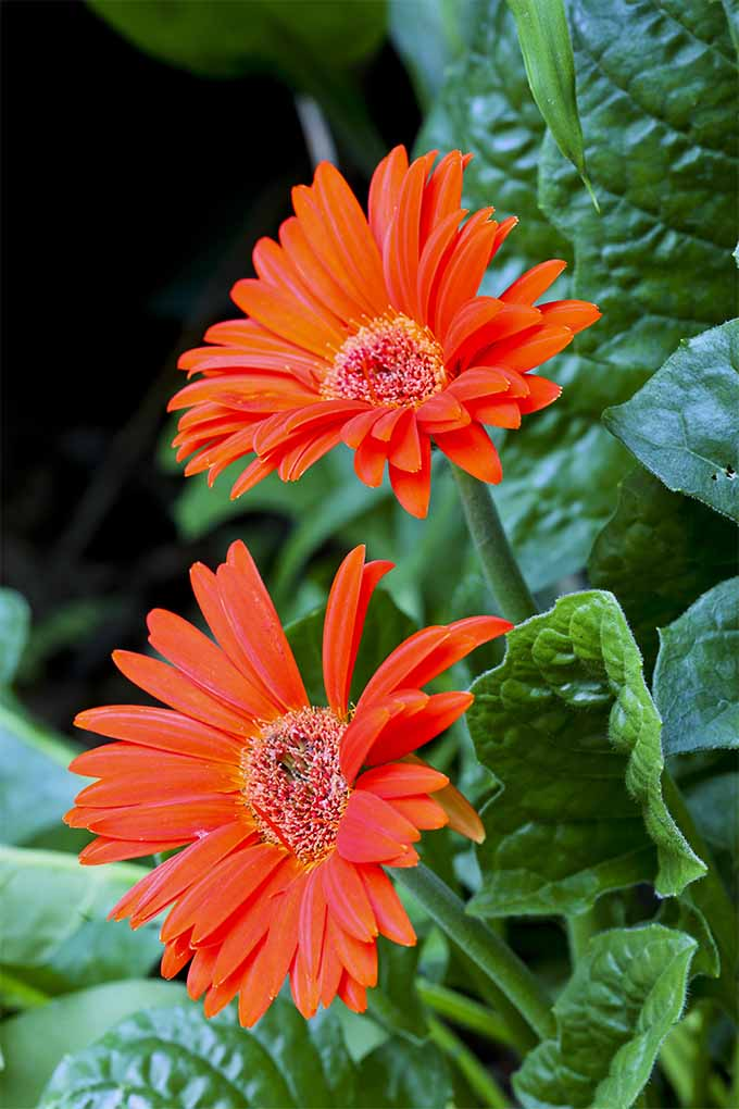 Deadhead African daisy flower heads to keep blooms coming back: https://gardenerspath.com/plants/flowers/how-grow-african-daisy/