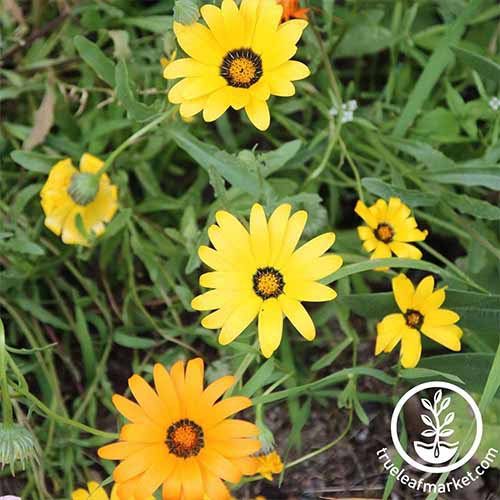 Learn to grow African daisy | GardenersPath.com