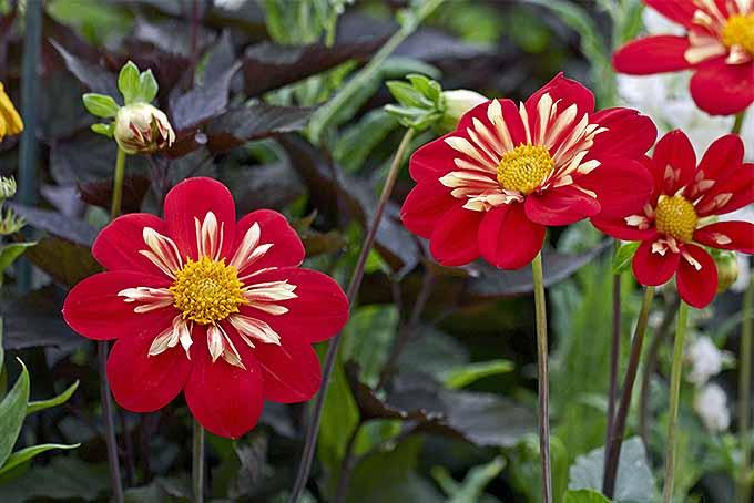 'Ann Breckenfelder' dahlias | GardenersPath.com