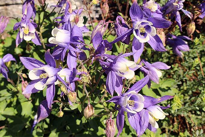 Aquilegia alpina | GardenersPath.com