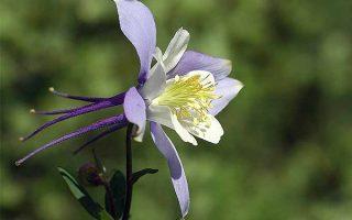 Aquilegia caerulea | GardenersPath.com