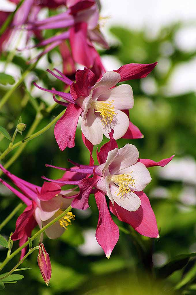 Learn all about A. vulgaris, and how to grow beautiful columbine flowers at home: https://gardenerspath.com/plants/flowers/columbine-harbinger-spring/