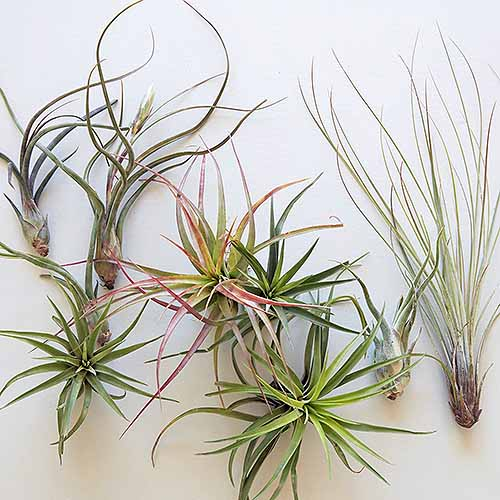 Seven assorted air plants isolated on a white background.