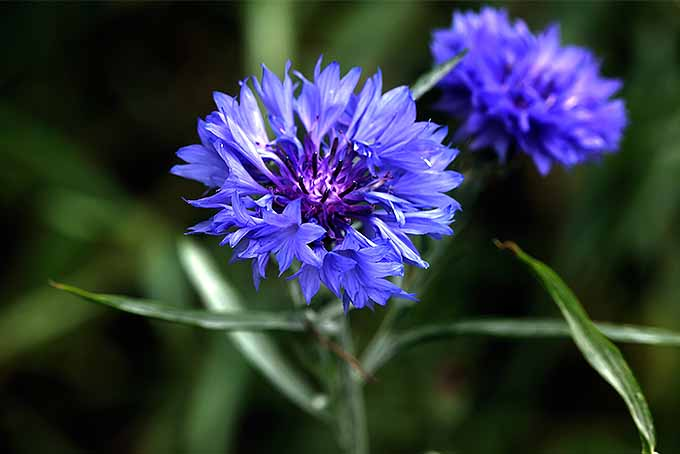 Is bachelor's button a beautiful annual flower or an invasive weed? | GardenersPath.com