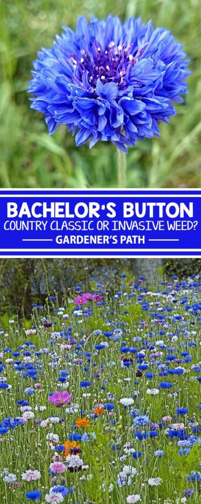 Bachelor's button is a wildflower that has naturalized throughout the United States. From classic blue to shades of pink, purple, and white, it's an invasive grower that likes space to roam. Learn about this country classic and see if it's right for your backyard landscape, here on Gardener's Path.