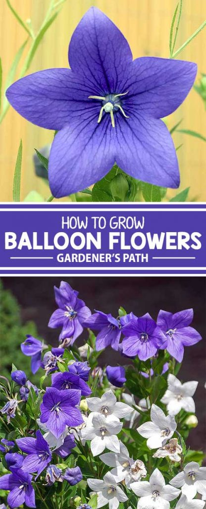 A collage of photos showing purple and white balloon flowers.