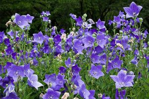 Balloon Flower: A Blue Garden Gem