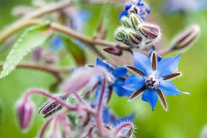 Borage: A Vigorous and Versatile Herb