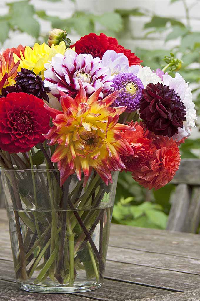 Dahlias make an excellent cutting flower! We'll teach you how to add them to your garden: https://gardenerspath.com/plants/flowers/delightful-dahlias/
